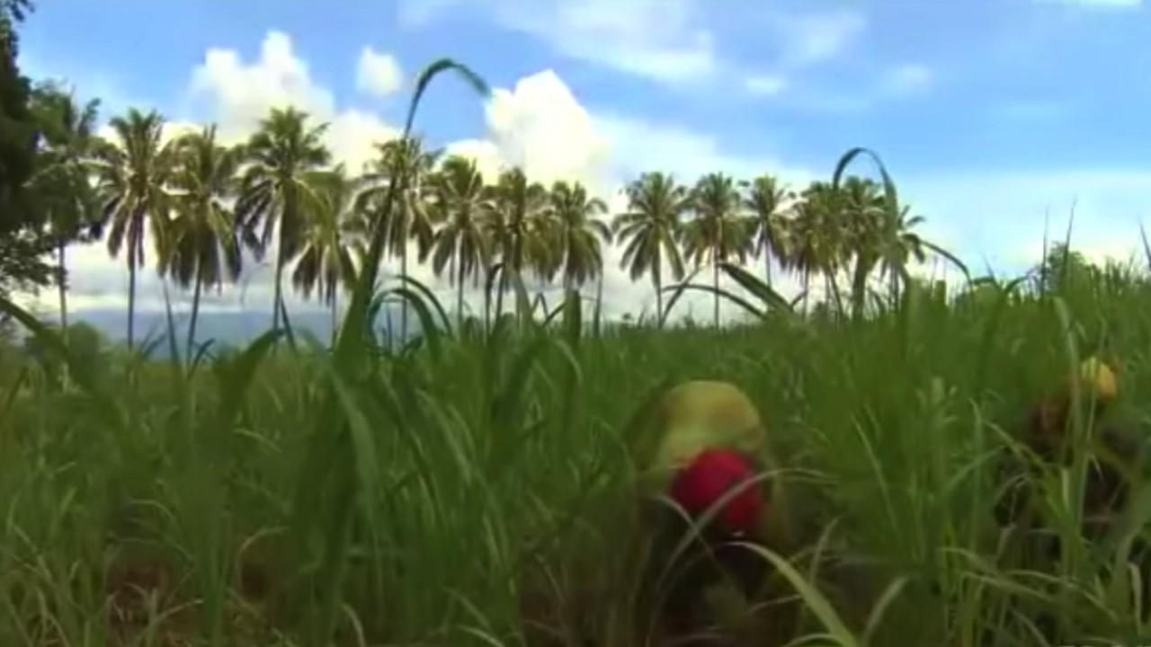 sugar plantation1
