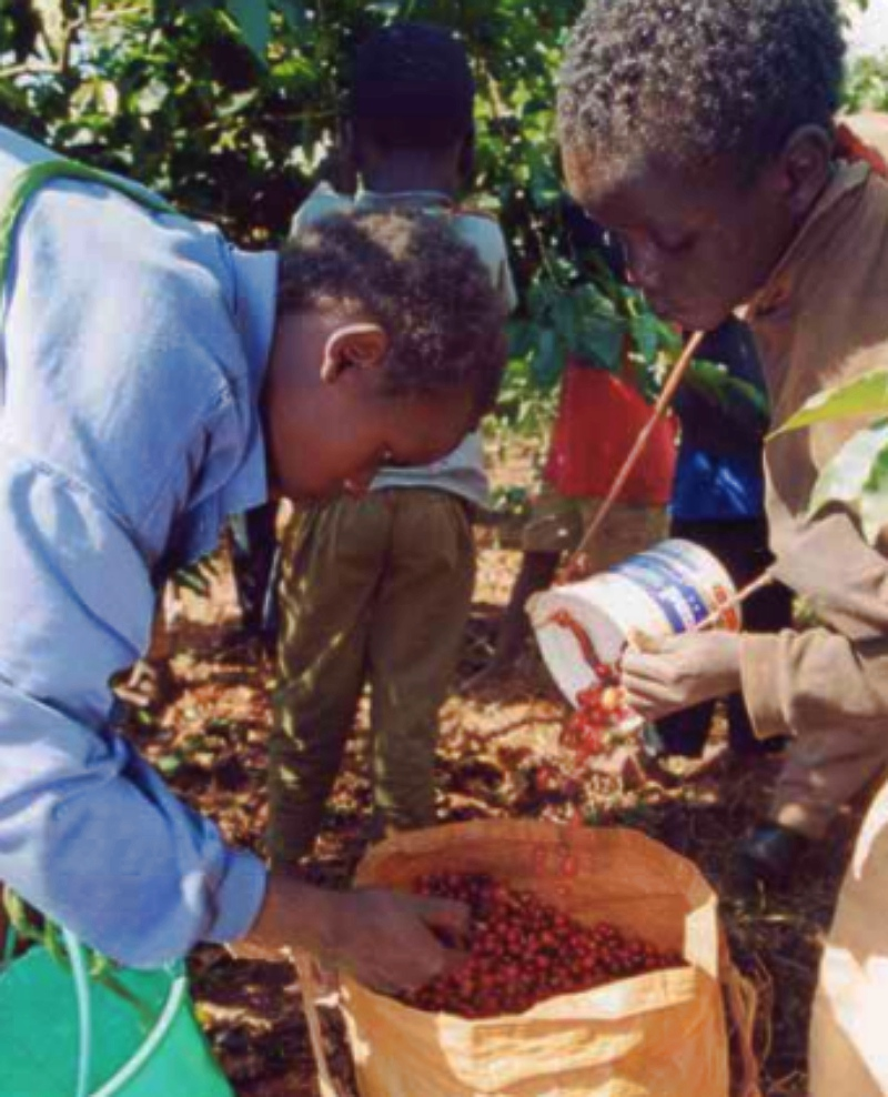 Child labors collecting cocoa